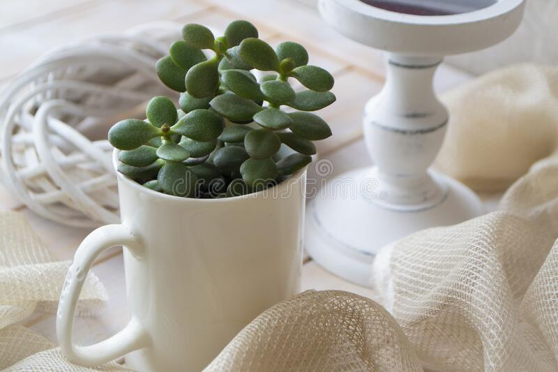 Jade plant growing in white cup on white wooden background. Succulent houseplant, crassula ovata, commonly known as jade plant, royalty free stock images