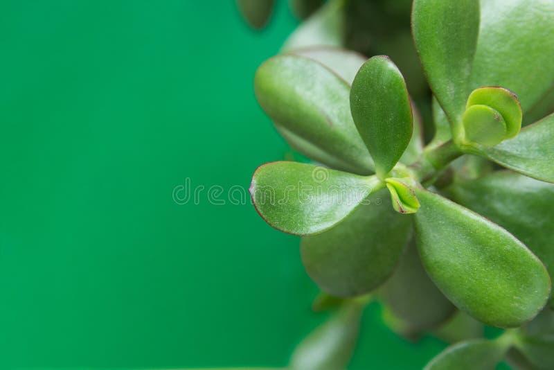 Jade Plant Money Tree i den vita krukan på grön bakgrund Nya vibrerande sidor Hög upplösningsbaneraffisch Rum planterar inre royaltyfria foton