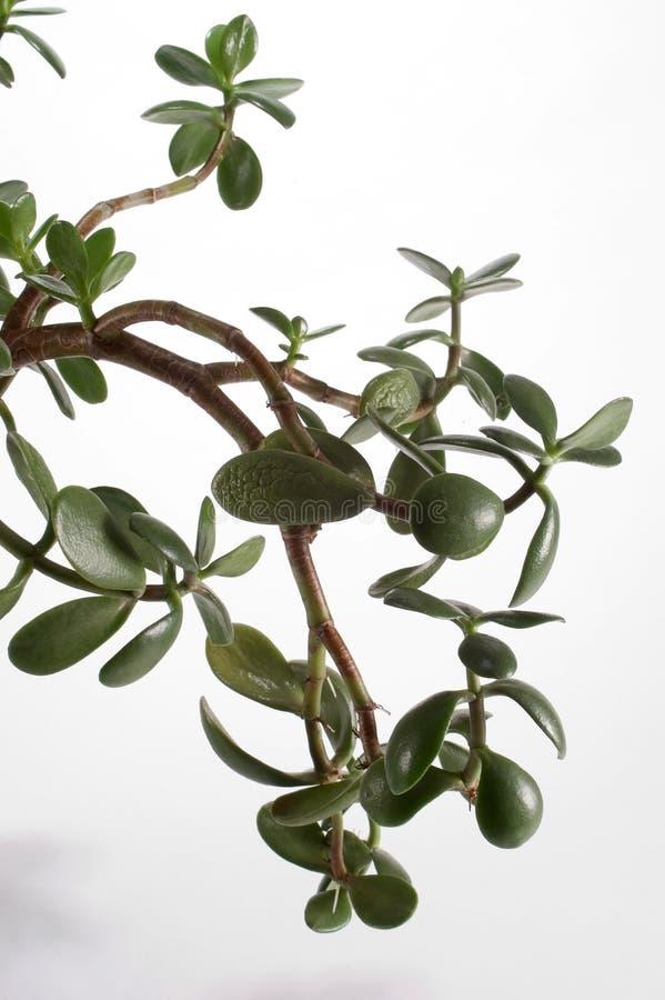 Download Jade roślinnych zdjęcie stock. Obraz złożonej z greenbacks - 33292