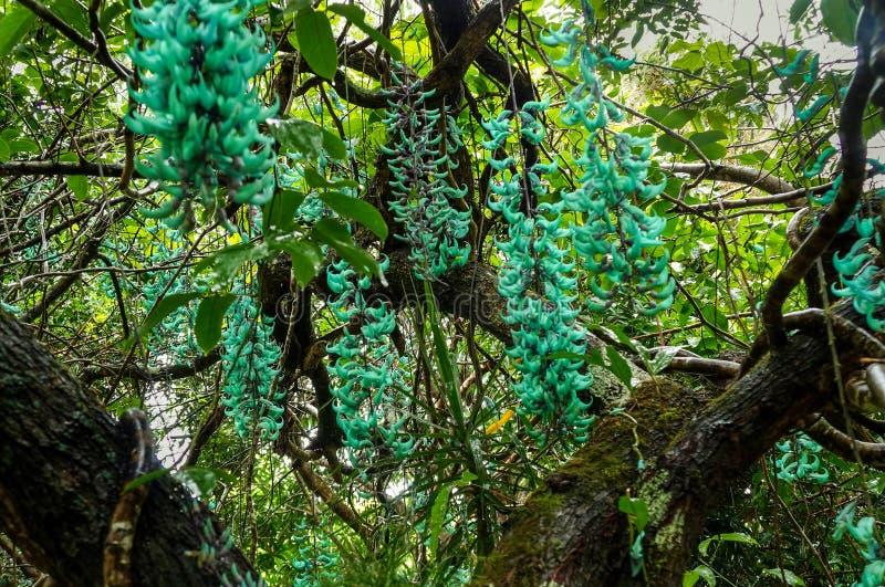 Jade Vine Strongylodonmacrobotrys, Maui, Hawaii, USA arkivbild