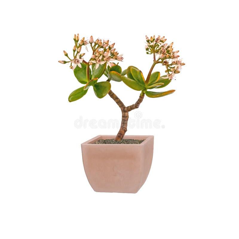Jadeanlage, Freundschaftsbaum, glückliche Anlage stockfotos