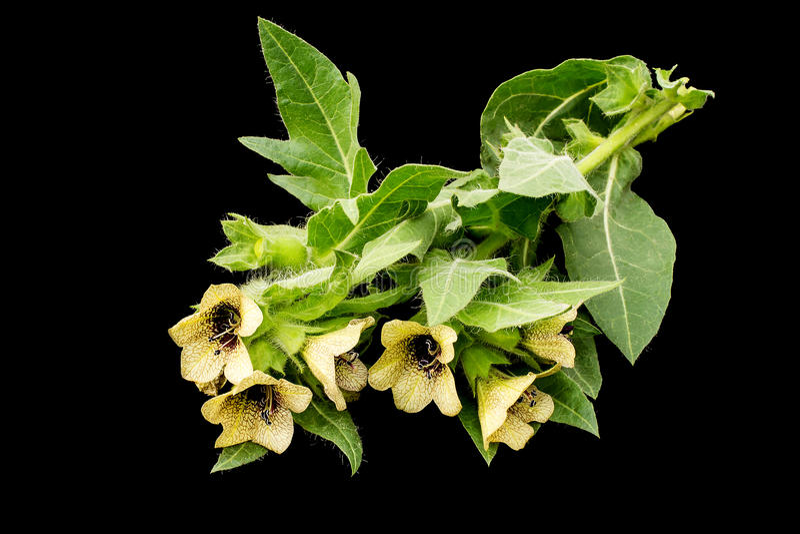 Jadowitej rośliny lulka czerń (Hyoscyamus Niger) zdjęcie royalty free