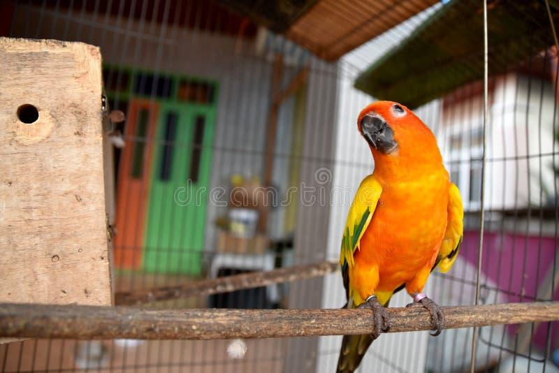 Jag är den färgade papegojan, solen Conure arkivbilder