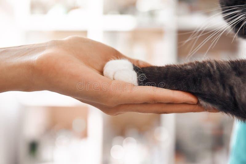 Jag är en vän för min patient Närbildfotoet av kvinnliga den veterinärhanden som rymmer, tafsar av en svart fluffig katt under en royaltyfri fotografi