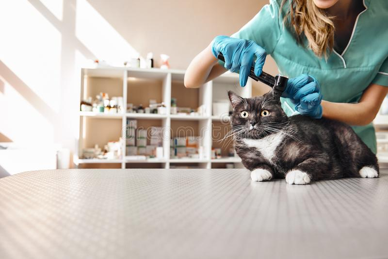 Jag önskar att kontrollera allt Ung kvinnlig veterinär i arbetslikformig som kontrollerar örahälsa av en stor svart katt med a arkivbild