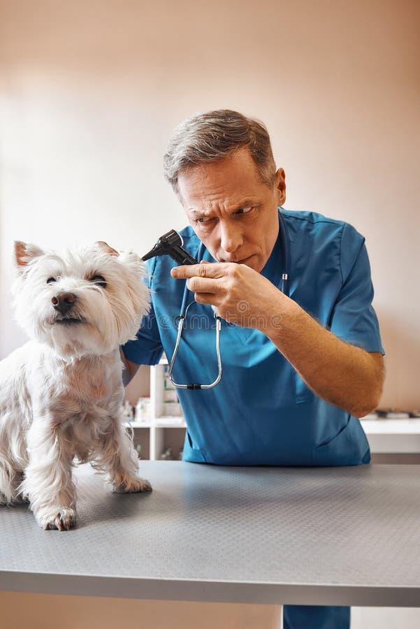 Jag behöver kontrollera allt Den yrkesmässiga mellersta åldriga veterinären i arbetande kläder kontrollerar hundöran på veterinär arkivbilder