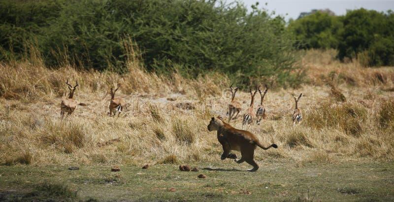 Jaga att köra för lejoninna som är snabbt efter impala arkivfoto