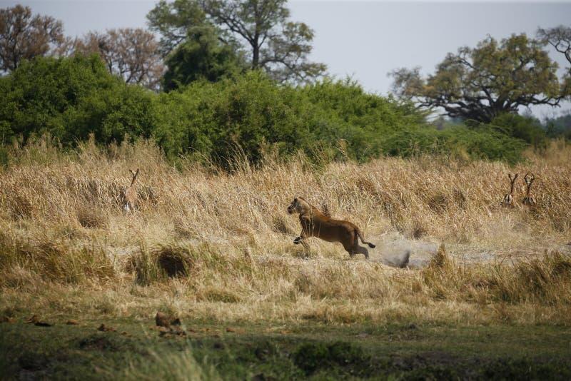 Jaga att köra för lejoninna som är snabbt efter impala royaltyfria bilder