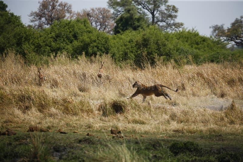 Jaga att köra för lejoninna som är snabbt efter impala arkivfoton