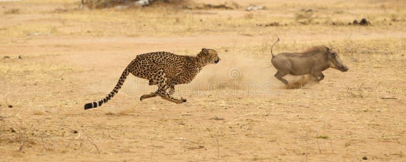 jaga cheetahwarthog