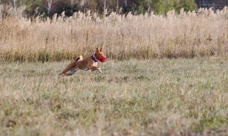 jaga Den Basenji hundkapplöpningen jagar ett drag gräs- fält royaltyfria foton