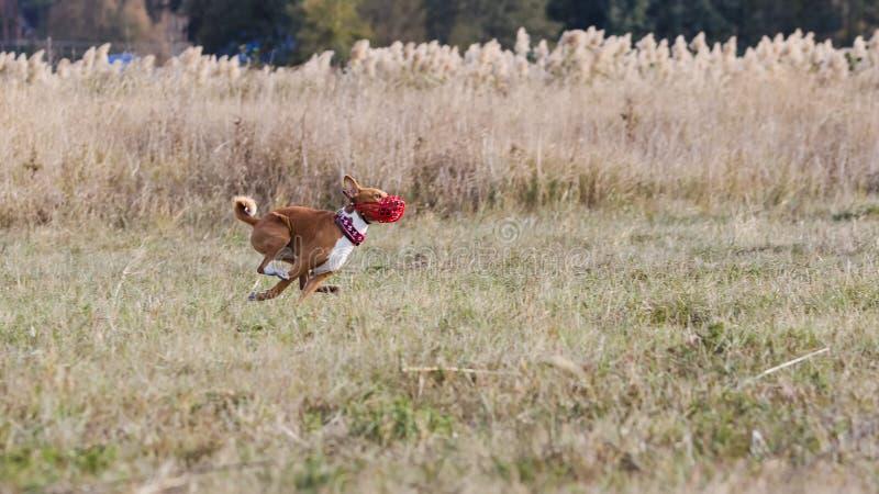 jaga Den Basenji hundkapplöpningen jagar ett drag gräs- fält arkivfoto