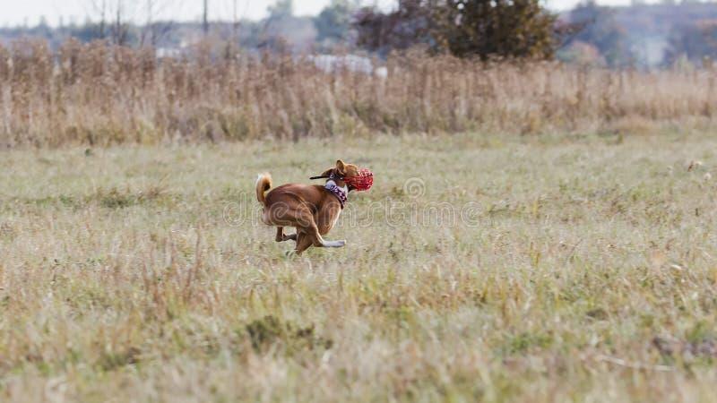 jaga Den Basenji hundkapplöpningen jagar ett drag gräs- fält royaltyfria bilder
