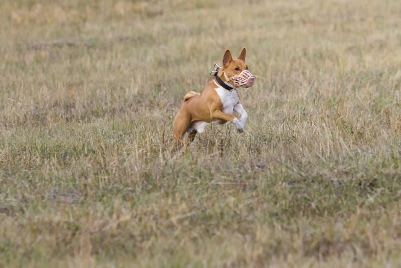 jaga Den Basenji hundkapplöpningen jagar ett drag gräs- fält arkivfoton