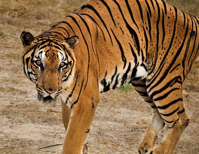 Jaga den Bengal tigern som crounching för att jaga dess rov arkivfoton