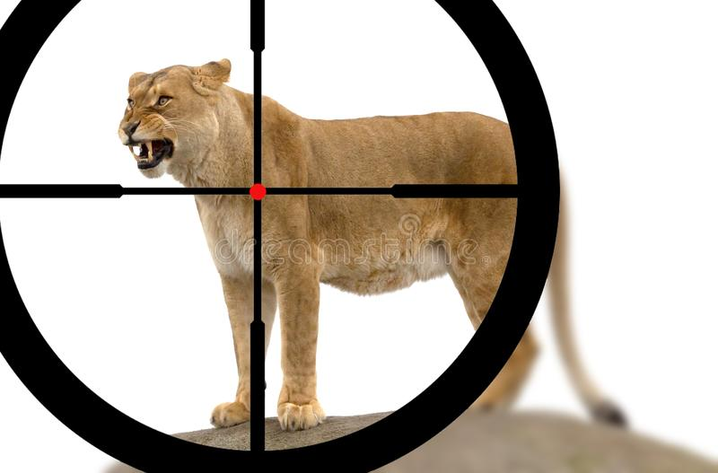 Jaga en lejoninna royaltyfri fotografi