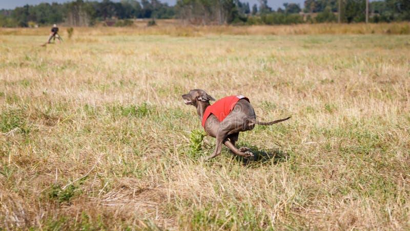 jaga Hund för italiensk vinthund som stöter ihop med fältet royaltyfria foton