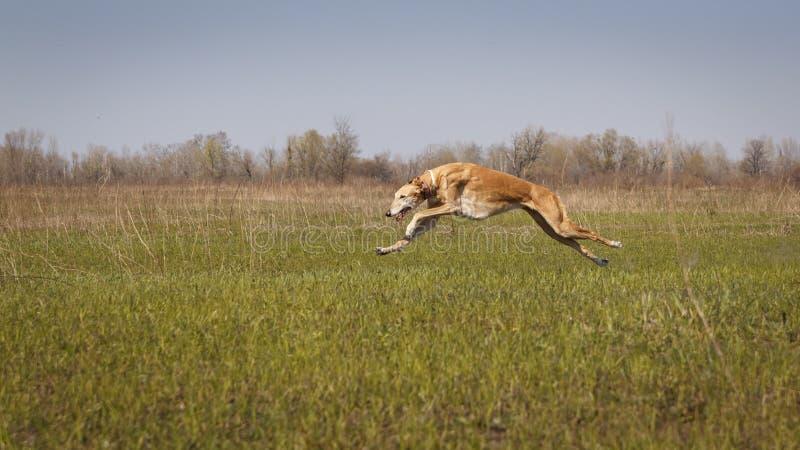 jaga Hundhunden Horta kör arkivbild