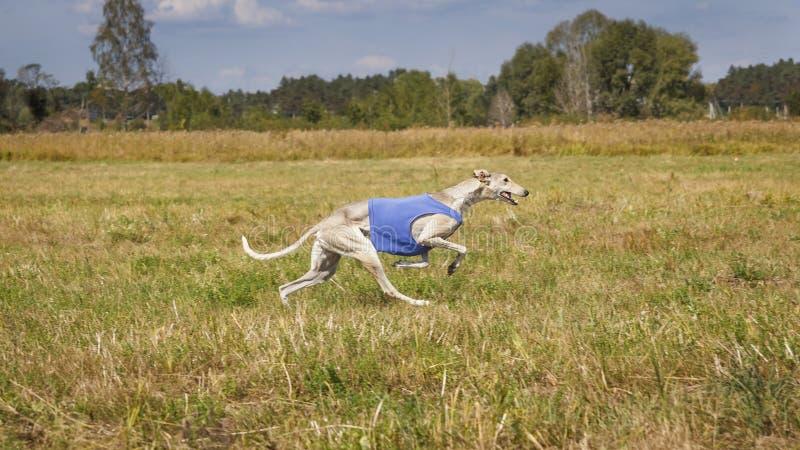 jaga Hundhunden Horta kör på fältet royaltyfria foton
