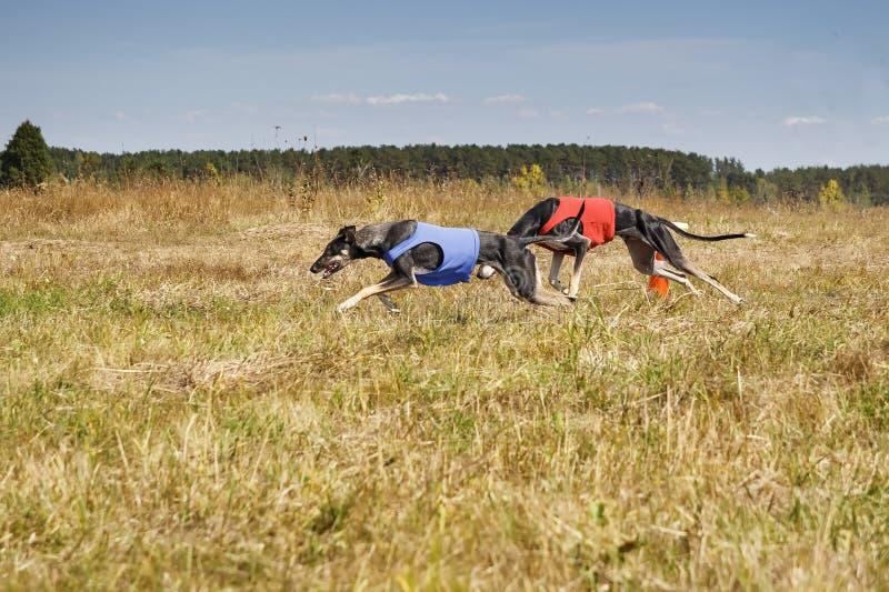 jaga HundkapplöpningHorta vinthundar som kör spåret Växt- por arkivbild