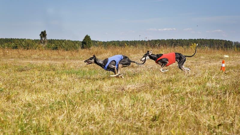jaga HundkapplöpningHorta vinthundar som kör spåret Växt- por arkivfoton