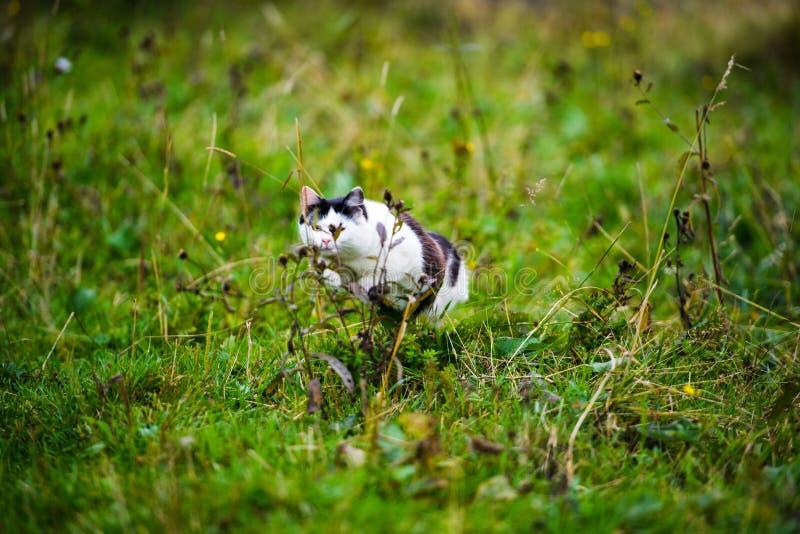 jaga katten som hoppar till och med gräs royaltyfria bilder