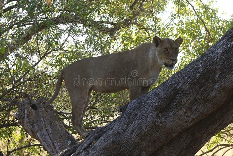 Jaga lejoninnan klättrade upp ett träd för att vinna fördel över efter impala arkivbild