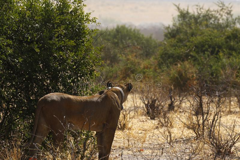 Jaga lejoninnan som döljer från uddebuffel bak en buske royaltyfria bilder