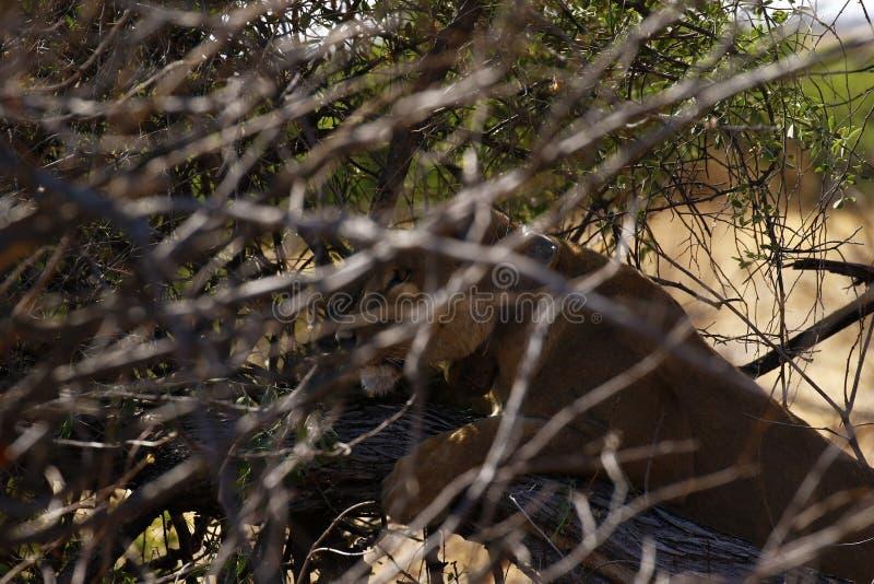 Jaga lejoninnan som döljer från uddebuffel i en buske royaltyfria foton