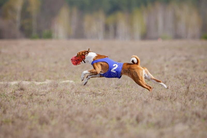 Jaga, passion och hastighet HundkapplöpningBasenji spring arkivfoto