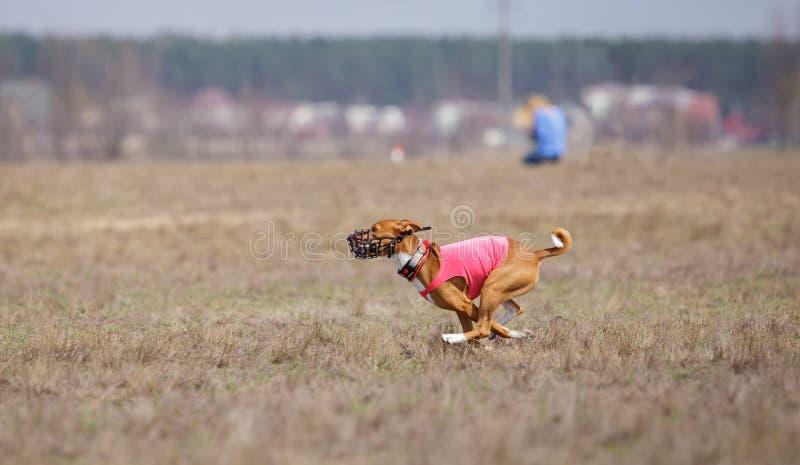 Jaga, passion och hastighet HundkapplöpningBasenji spring royaltyfri bild