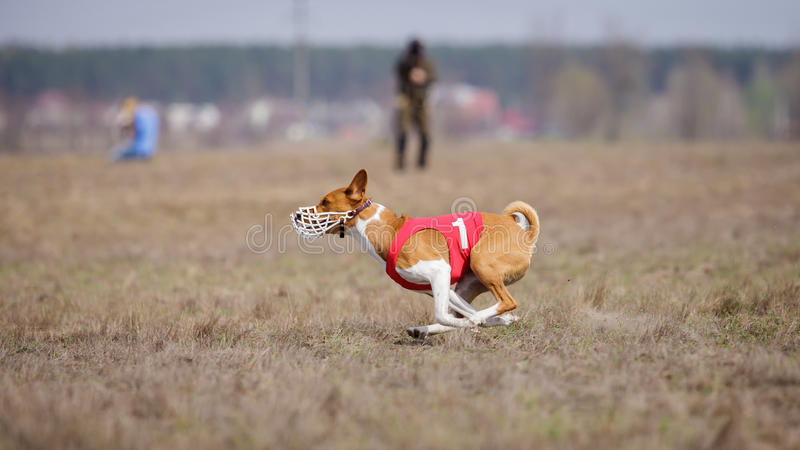Jaga, passion och hastighet HundkapplöpningBasenji spring royaltyfri foto