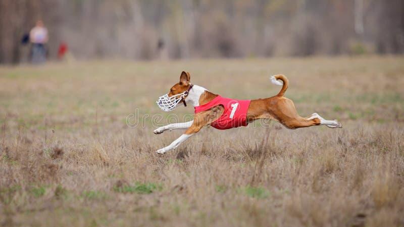 Jaga, passion och hastighet HundkapplöpningBasenji spring arkivfoton