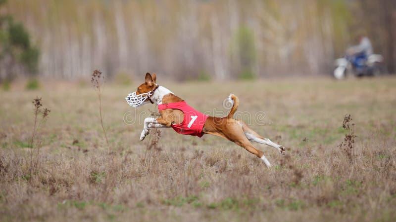 Jaga, passion och hastighet HundkapplöpningBasenji spring arkivbilder