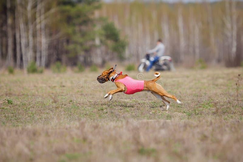 Jaga, passion och hastighet HundkapplöpningBasenji spring fotografering för bildbyråer
