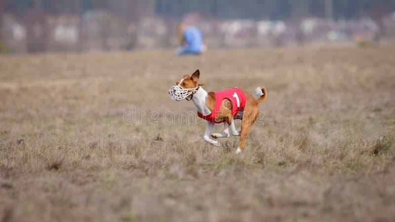 Jaga, passion och hastighet HundkapplöpningBasenji spring royaltyfria foton