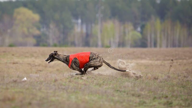 Jaga, passion och hastighet Hundvinthundspring royaltyfri fotografi