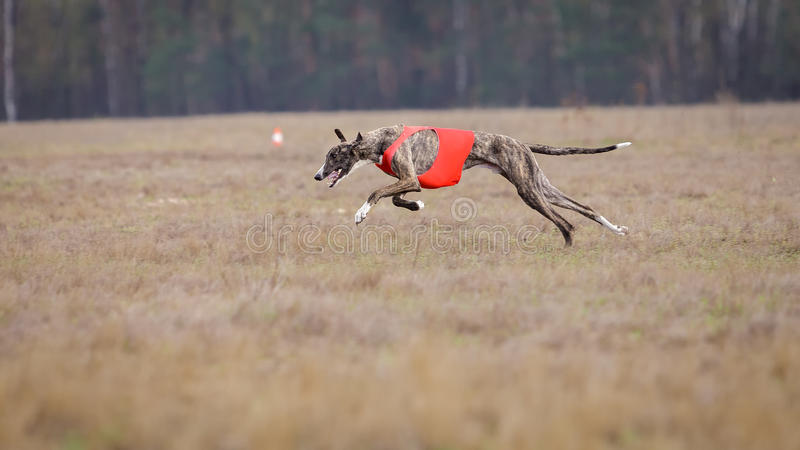 Jaga, passion och hastighet Hundvinthundspring royaltyfri foto