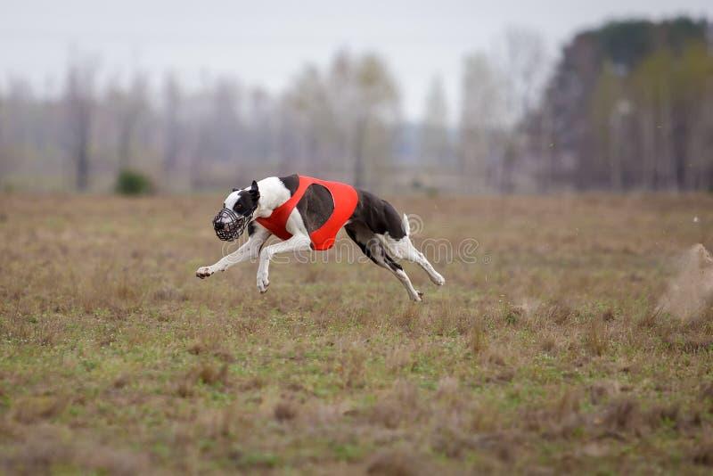 Jaga, passion och hastighet Köra för vinthundhundkapplöpning arkivfoton
