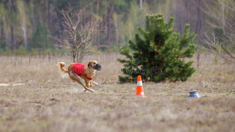 Jaga, passion och hastighet Köra för Yuzhnorusskaya borzayahundkapplöpning royaltyfri foto