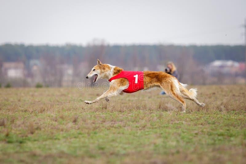 Jaga, passion och hastighet ryss för profil för stående för huvud för hund för bakgrundsborzoiclose upp white royaltyfri bild