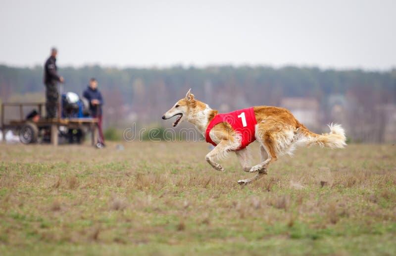 Jaga, passion och hastighet ryss för profil för stående för huvud för hund för bakgrundsborzoiclose upp white arkivfoto