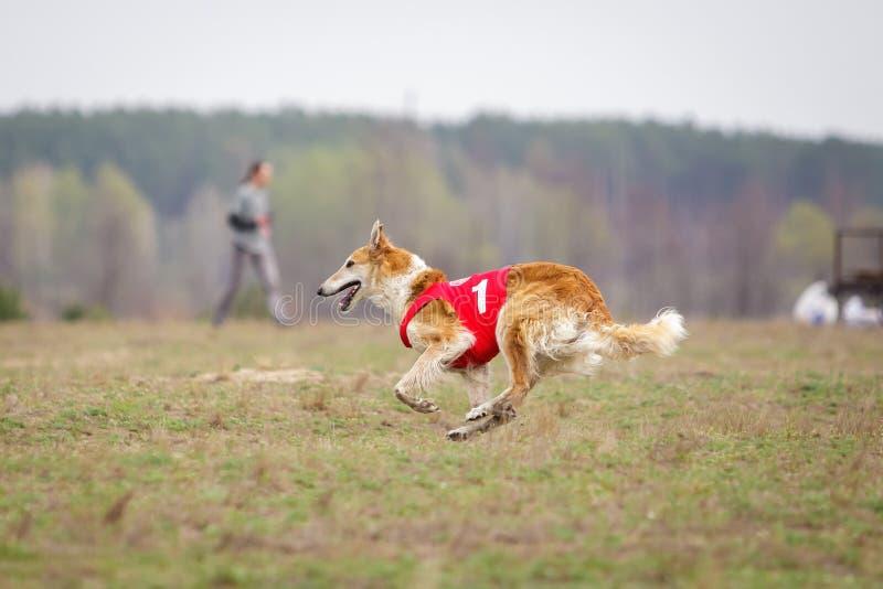 Jaga, passion och hastighet ryss för profil för stående för huvud för hund för bakgrundsborzoiclose upp white arkivfoton