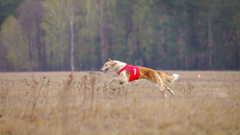 Jaga, passion och hastighet ryss för profil för stående för huvud för hund för bakgrundsborzoiclose upp white royaltyfria bilder