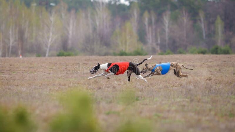 Jaga, passion och hastighet Vinthundspring för två hundkapplöpning arkivfoto