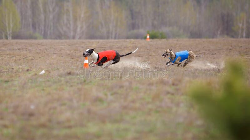 Jaga, passion och hastighet Vinthundspring för två hundkapplöpning royaltyfri bild