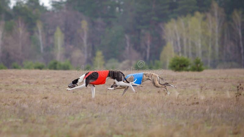 Jaga, passion och hastighet Vinthundspring för två hundkapplöpning royaltyfri fotografi