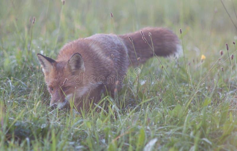 Jaga räven royaltyfri fotografi