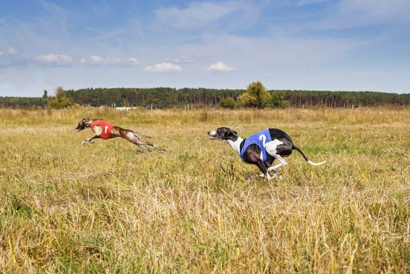 jaga Rinnande spår för hundkapplöpningwhippet Växt- por royaltyfri fotografi