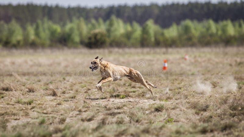 Jaga utbildning Whippethundspring på fältet royaltyfri fotografi